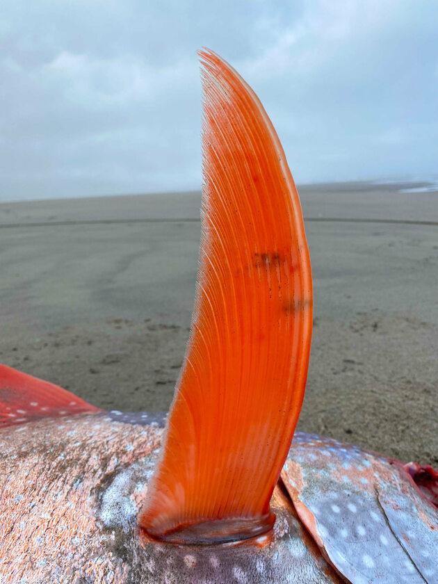 Olbrzymi strojnik znaleziony na plaży w stanie Oregon