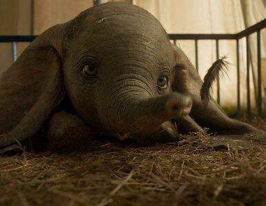 """""""Dumbo"""" powraca w wersji aktorskiej. Jest oficjalny zwiastun filmu Tima..."""