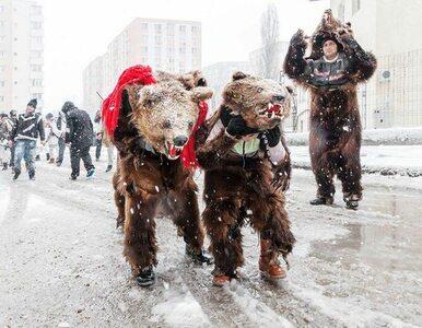 Tańczące niedźwiedzie odczarują nowy rok? Każdego roku jest ich coraz mniej