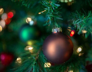 Wypożyczalnia choinek. Po świętach zamiast na śmietnik, drzewka mogą żyć...