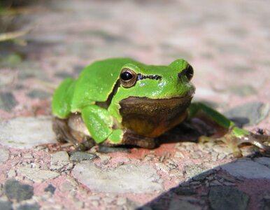 Koniec świata się zbliża, bo... znikają żaby?