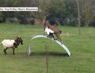 Kozy balansują na giętkim metalu