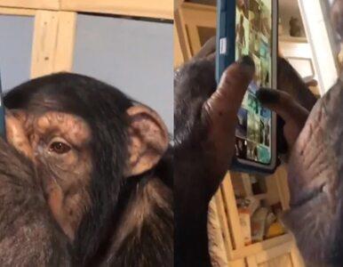 Szympans przegląda profil na Instagramie. Nagranie stało się viralem i...