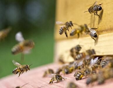 Ciepła zima nie sprzyja przyrodzie. Pszczoły są zdezorientowane. Budzą...