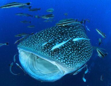 Naukowcy odkryli nowy gatunek zwierzęcia. Żyje w paszczy największej...