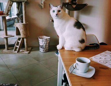 Właściciele kociej kawiarni w Gdyni skarżą się na klientów z dziećmi....