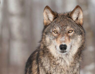 """""""Psy nie żyły wówczas z ludźmi"""". Nowe doniesienia o udomowieniu wilków"""