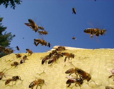 Celnikom będą pomagać... pszczoły?