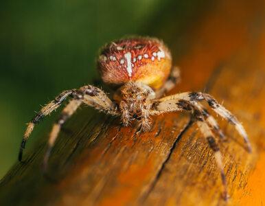 Naukowcy: Niektóre pająki wstrzykują coś gorszego niż jad