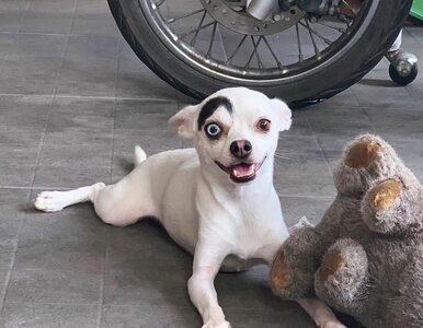 """Ten pies rozbraja swoim wyglądem. Ma wyjątkowe oczy i... """"brew"""""""