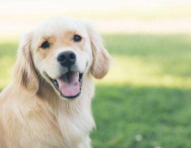 Psy ratują ludzi, na których im zależy? Nowe badanie potwierdza teorię