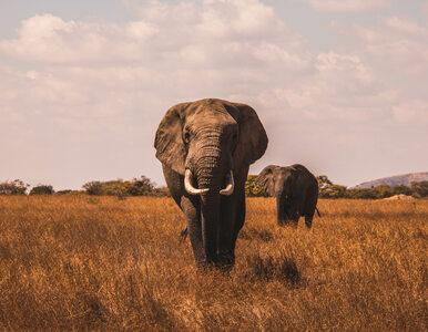 """Słoń wtargnął do domu. """"Szlak"""" przetarł mu kolega"""