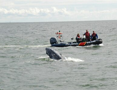 Nietypowa akcja Straży Granicznej. Pomogli uwolnić...wieloryba