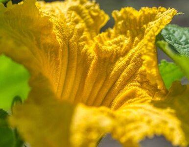 Zjedz kwiaty dyni. Nietypowy i zdrowy przysmak