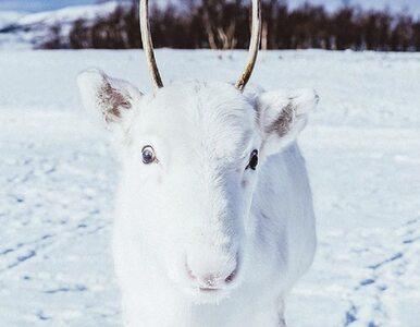 Sfotografował niezwykle rzadko spotykanego białego renifera. Wygląda jak...
