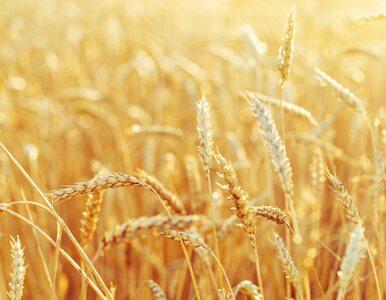 Czy pszenica jest szkodliwa? Fakty żywieniowe na temat pszenicy