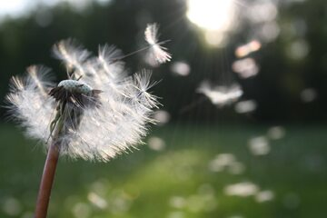 Alergia, pyłki