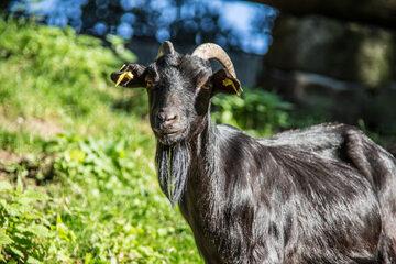 Czarna koza
