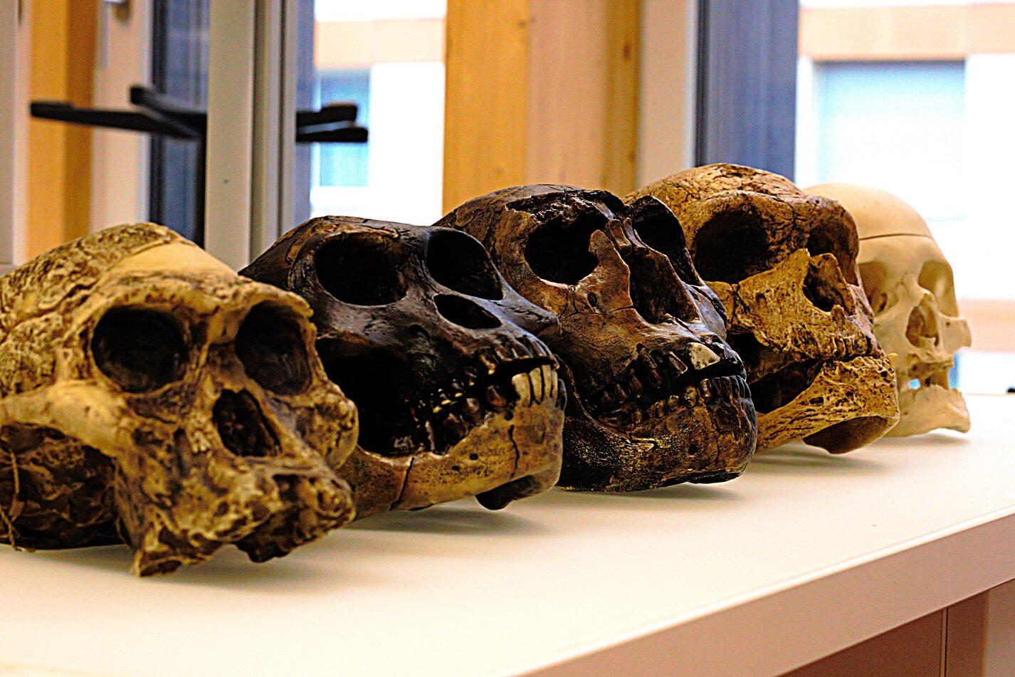 Czaszki przodków człowieka. Od lewej A. africanus, A. afarensis, H. erectus, H. neanderthalensis and H. sapiens sapiens