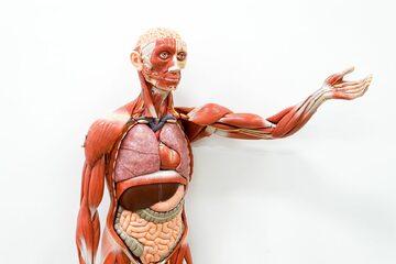 Człowiek, model anatomiczny