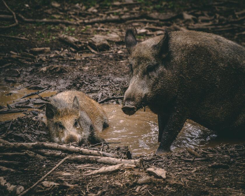 Dziki, zdjęcie ilustracyjne