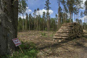 Efekt wycinki w Puszczy Białowieskiej z 2017 roku