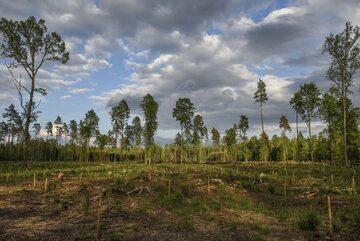 Efekty wycinki w Puszczy Białowieskiej