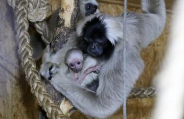 Gibbony w zoo w Płocku