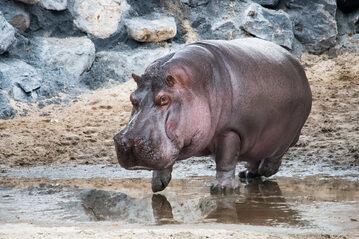 Hipopotam, zdjęcie ilustracyjne