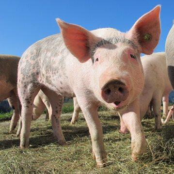 Hodowla świń. Biogaz jest często produkowany z odchodów zwierzęcych