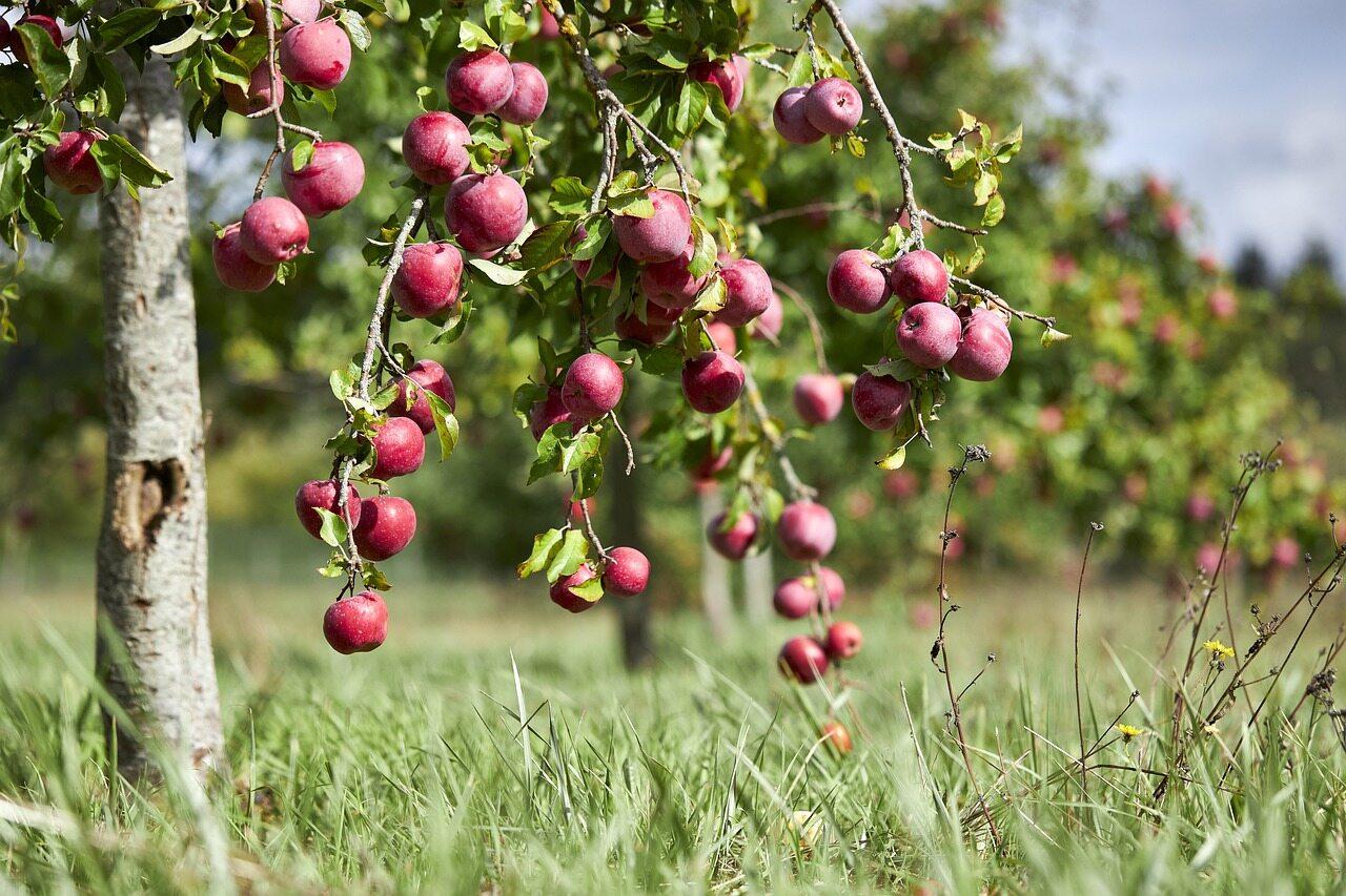 Jabłoń, zdjęcie ilustracyjne
