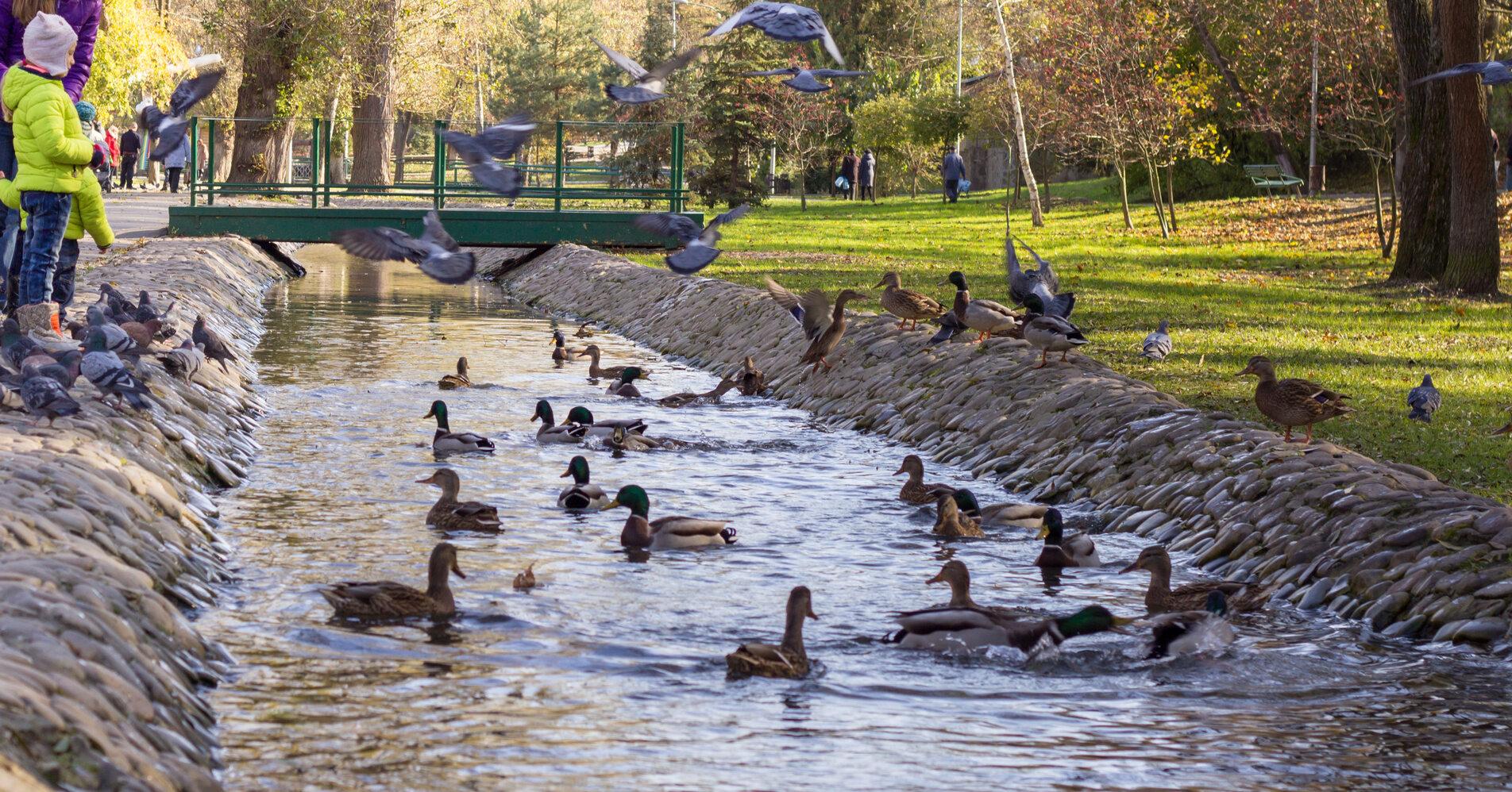 Kaczki w parku