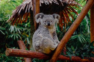 Koala, zdjęcie ilustracyjne