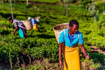 Kobiety pracujące na plantacji