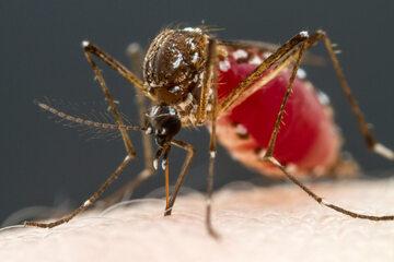 Komary są odpowiedzialne za przenoszenie malarii