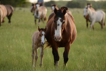Konie arabskie, zdjęcie ilustracyjne