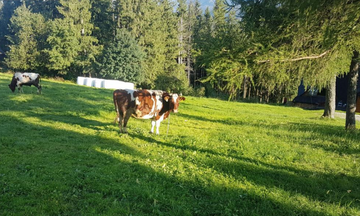 Krowa, która zraniła 9-latkę