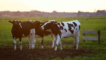 Krowa mleczna, zdjęcie ilustracyjne