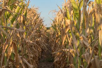 Kukurydza, susza, zdj. ilustracyjne
