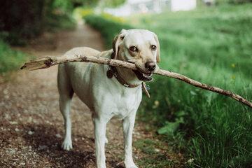 Labrador, zdjęcie ilustracyjne