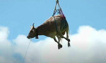 Latająca krowa