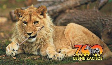 """Lew w ogrodzie zoologicznym """"Leśne Zacisze"""""""