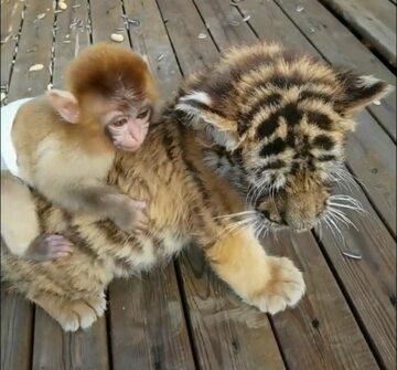 Małpka na tygrysku