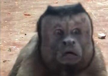 Małpka z ludzką twarzą