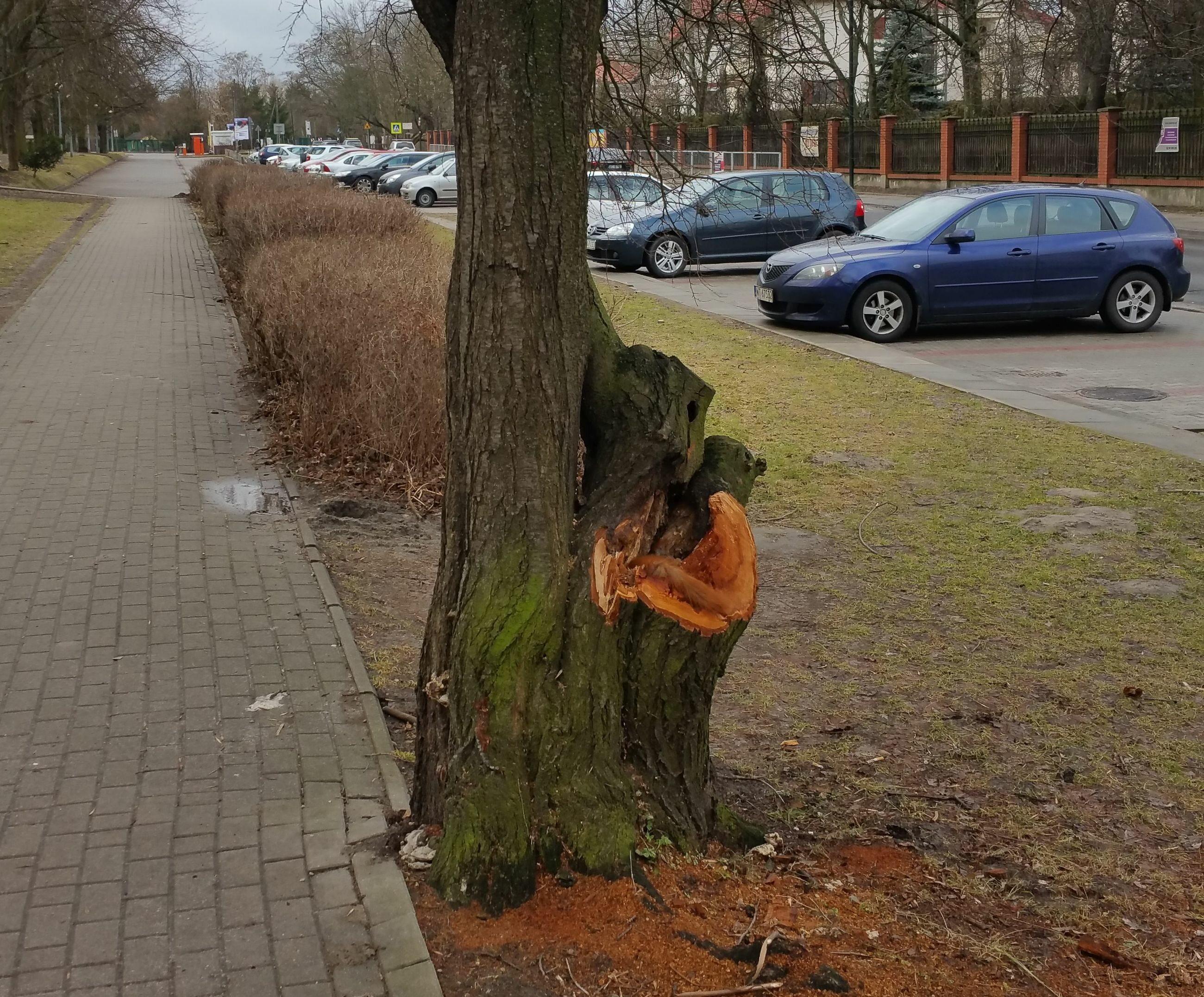 Martwa wiewiórka na drzewie w Parku Szczęśliwickim