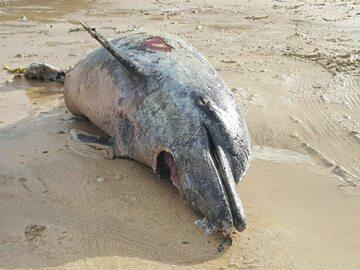 Martwy delfin w Kornwalii