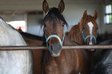 Młode konie arabskie w stajni
