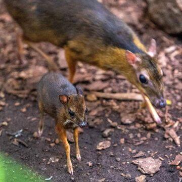 Młody myszojeleń (z przodu) z łódzkiego zoo