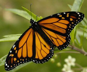 Motyl monarcha