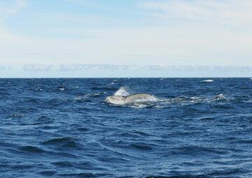 Najlepsze miejsce do obserwacji wielorybów to północne wody Islandii